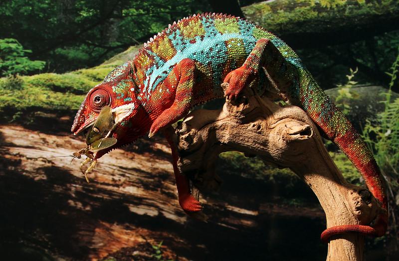 Chameleon Eating Creobroter Mantis.jpg