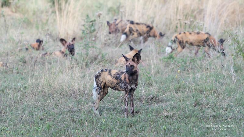 African Wild Dog, Khwai River Concession, Botwana, May 2017-4.jpg
