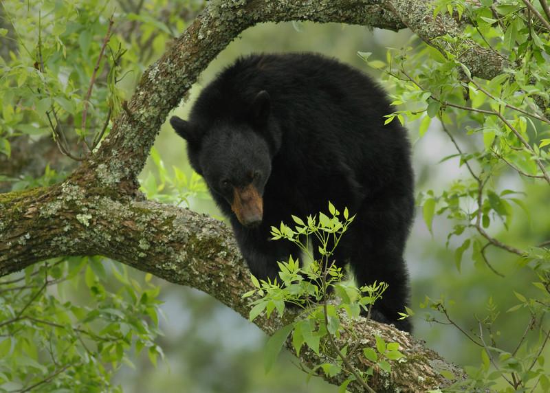Bear up A Tree at Hyatt Lane
