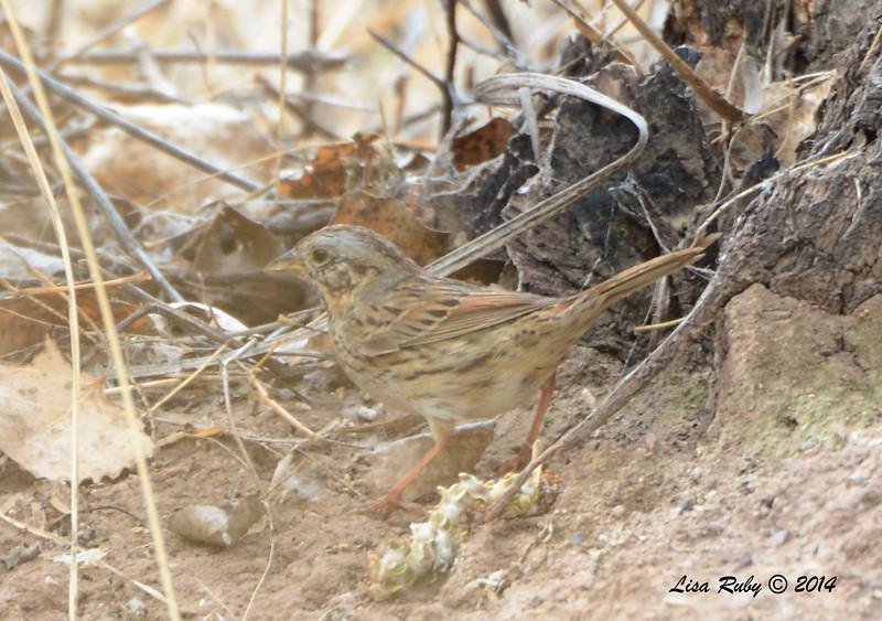 Lincoln's Sparrow   - 4/19/2014 - San Pedro Riparian Conservation Area, Sierra Vista, Az