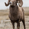 Big Horn Sheep looking for ladies