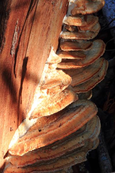 Mushrooms- Cedar Interpretive Trail