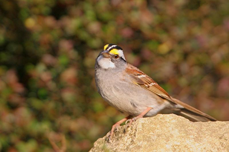 White-throated Sparrow - Pennsylvania