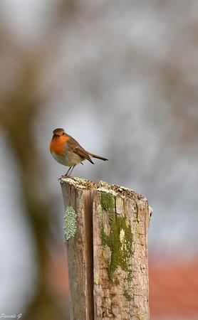 Oiseaux des parcs, jardins, forêts et campagne