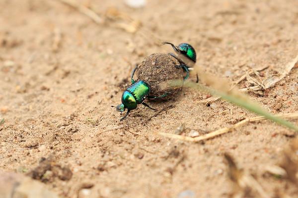 Dung Beetle Tanzania 2016