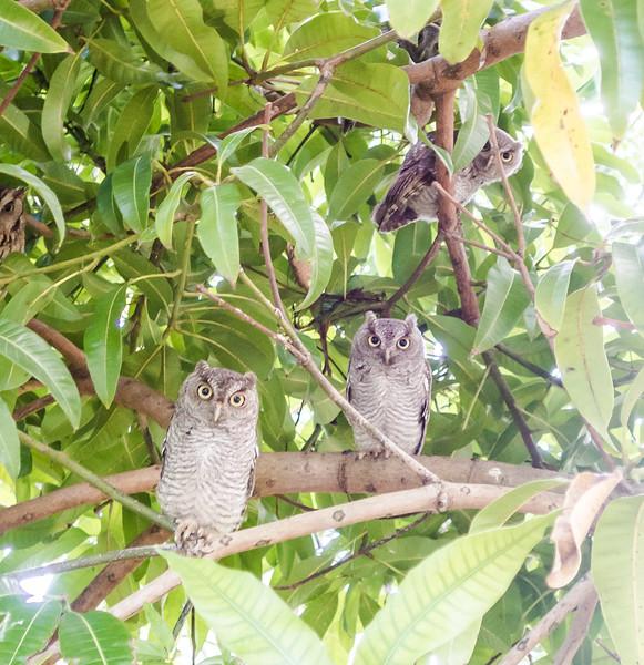 owls-07725.jpg