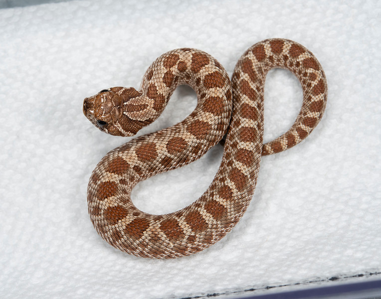 19-8b, Female Conda 100% Het Axanthic 50% possible Het Albino, $200