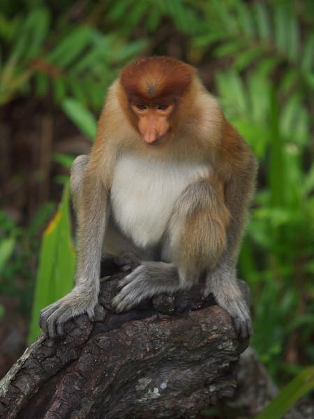 Proboscis monkey, Kinabatangan, Sabah (Foto: Geir)*