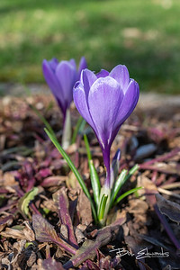 Dori's Crocuses