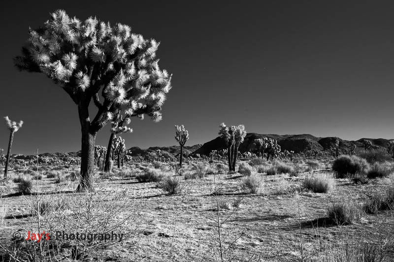 DSCF4783_infrared_iridentJoshua_Tree_NP copy_DXO copy.jpg