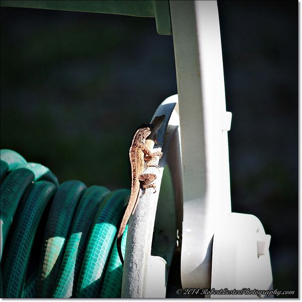 2014-06-06_IMG_0835__Anole Lizard,Clearwater,Fl..JPG