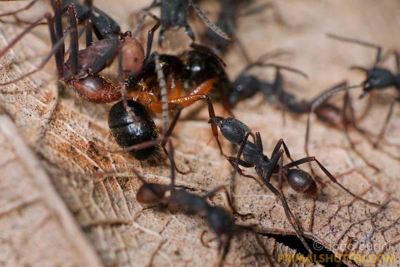 Eciton army ants attacking a Camponotus ant, in Intervales State Park, Brazil. South-east atlantic forest reserve, UNESCO World Heritage Site.