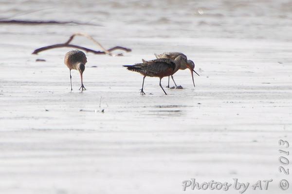 2013-04-14 Riverlands Migratory Bird Sanctuary