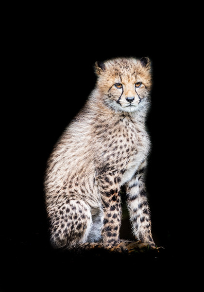 Cute little cheetah cub sitting on a rock and looking around