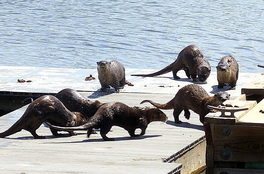 . Otters at play. (Courtesy of Krist Jensen)