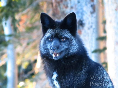Red Fox - Black Morph