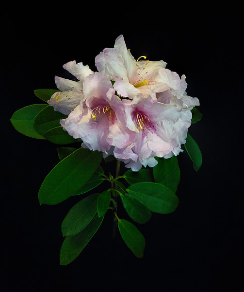 RhododendrOnBlack.jpg