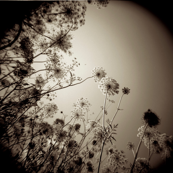 Queen Anne's Lace, Humber River, Toronto. 2014.