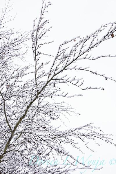 Liquidambar styraciflua in snow_4224.jpg