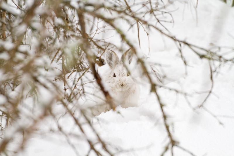 Snowshoe Hare Warren Nelson Memorial Bog Sax-Zim Bog MNIMG_0715.jpg