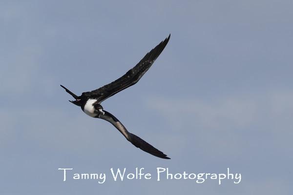 Frigatebird, Great