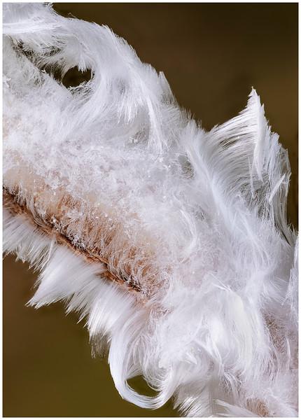 hair ice on beech