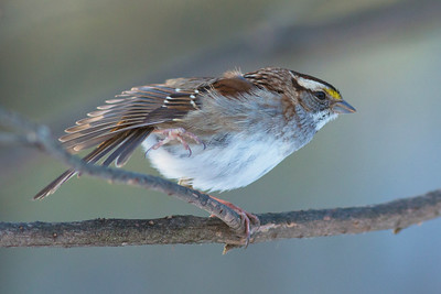 Yellow Capped Sparrow