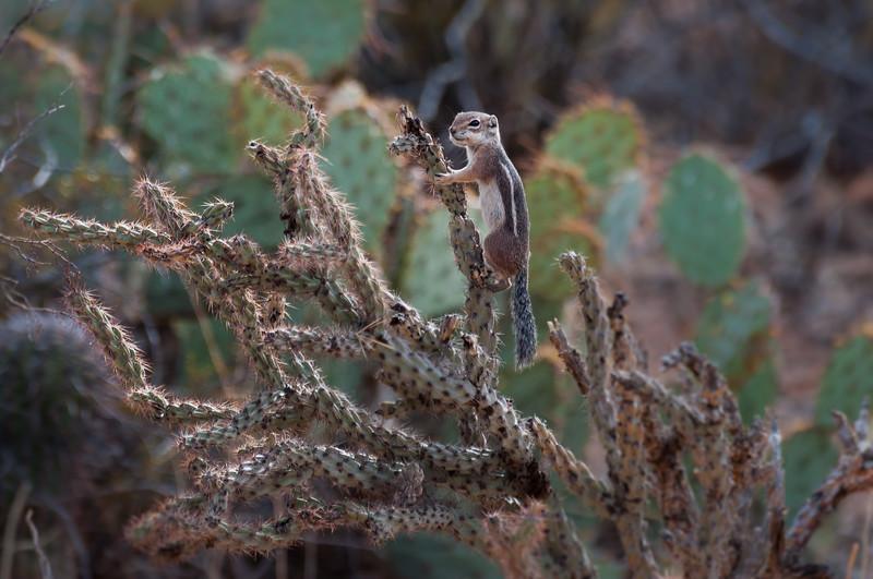 Harris Antelope Squirrel and Cholla Cactus #8