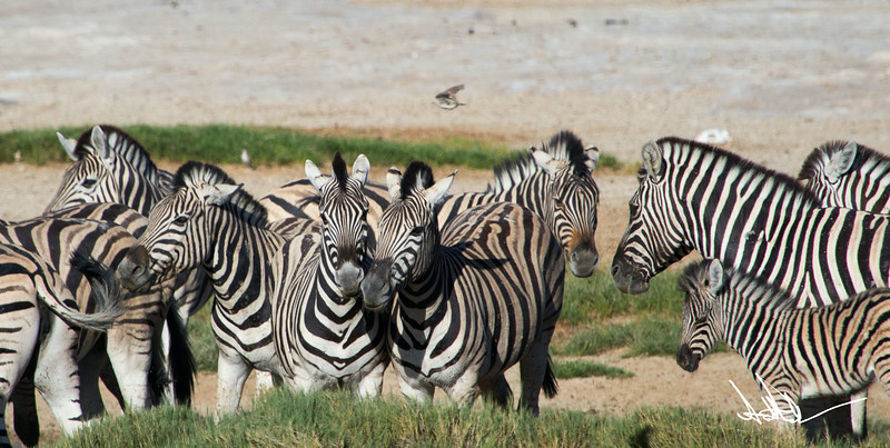 ZebraS-4.jpg