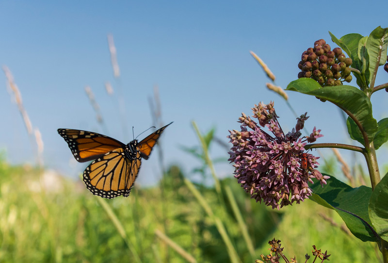 Monarch-butterfly-flying-SFbogOhio.jpg