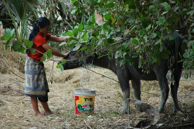Woman Washing A Water Buffalo - Angkor, Cambodia