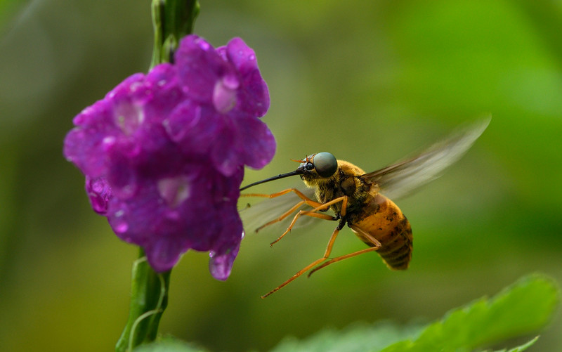 Bee-fly-goa.jpg