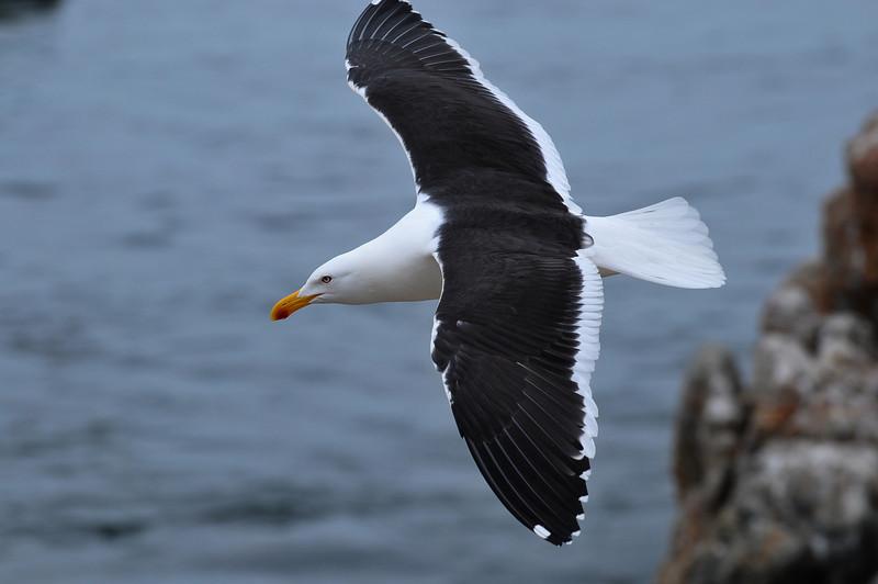 renanaca- gull wide DSC_2004.jpg