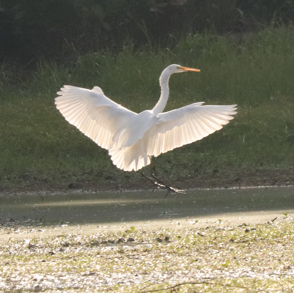 Great white egret 51