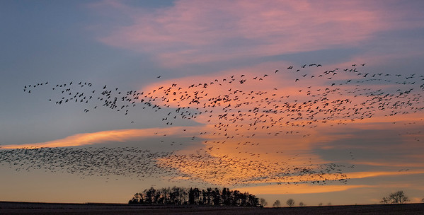 pink footed geese migration