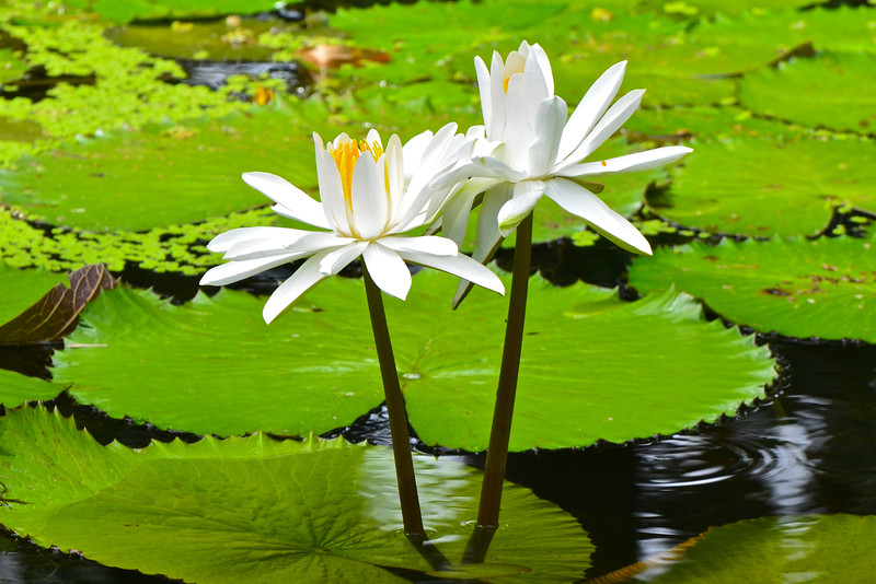 Nymphaea Alba waterlily