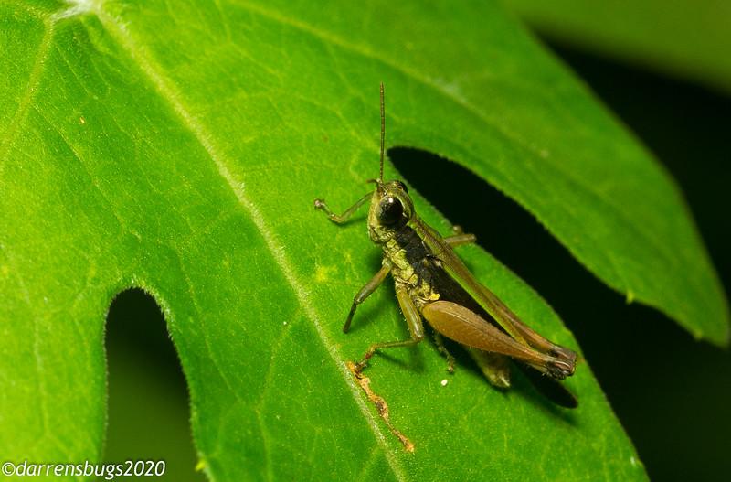 Grasshopper from Panama.