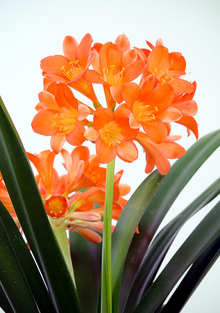Clivias Sid & Marlene (Low resolution)