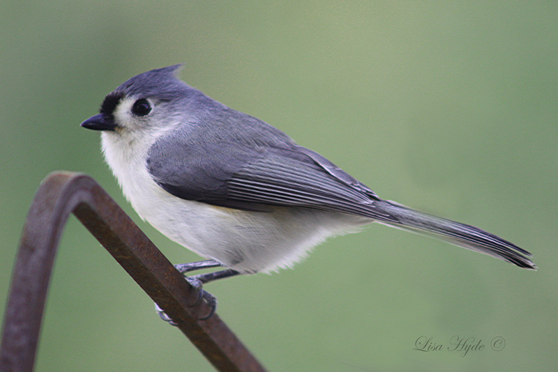 Titmouse signed.jpg