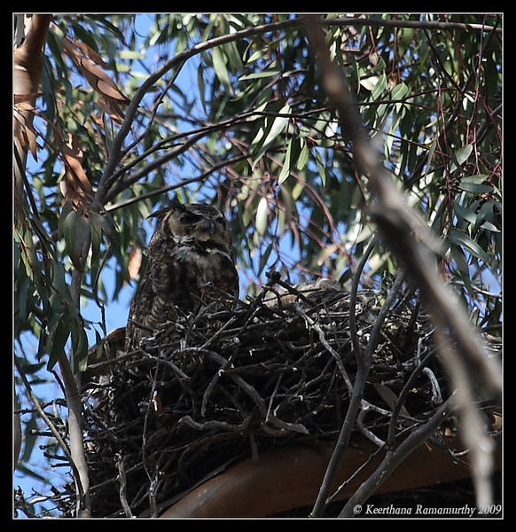 Great Horned Owl nest with 3 owlets, San Diego County, California, March 2009