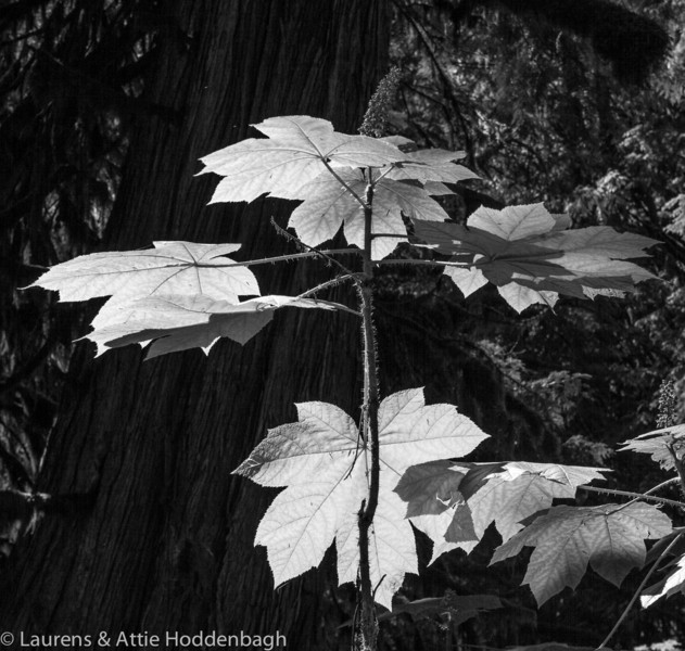 Big Leaves at Snoqualmie Nat'l Forest