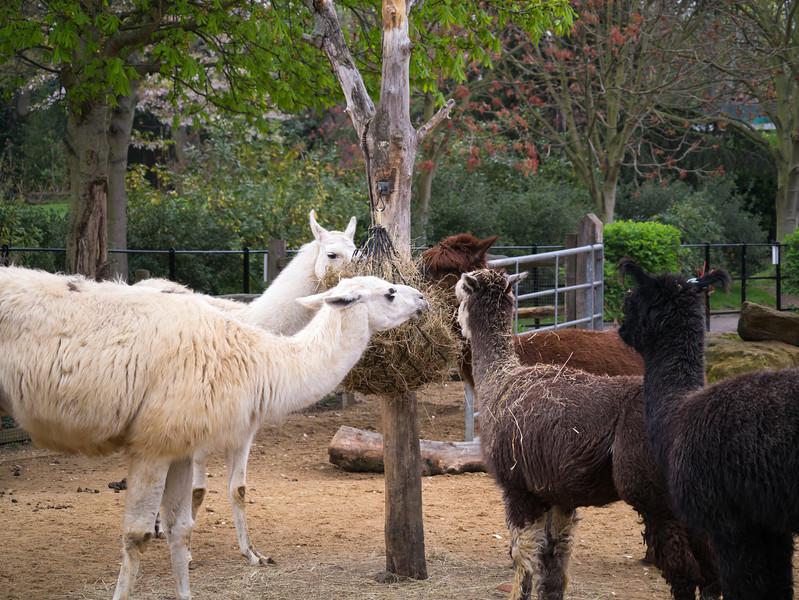 Lama at London Zoo