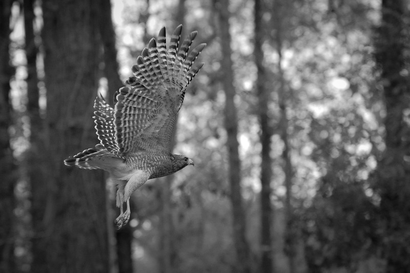 MMG_Red Shouldered Hawk Mount Pleasant SC_9 BW.jpg