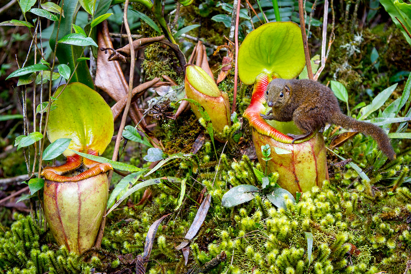 I was climbing mount Kinabalu in Borneo, when I spotted a tree shrew (Dendrogale melanura) close to the trail. He jumped up next to me and stole some of the chocolate I was eating. I discovered that these usually shy rodents have become used to people walking the trails. These shrews have a fascinating relationship with the giant pitcher plants found on the mountain, and there was a patch of these cup-shaped plants close to where we were camping. I sat and waited, and sure enough a tree shrew appeared. The shrew jumped up onto the rim, and once it had a foothold it began greedily licking the nectar from the lid. It was once believed that the plants ate the rodents that slipped into the cups digestive juices, but in fact, in return for the sweet treat, the shrew uses the plant as a toilet - providing it with a vital source of nutrients on these rain washed slopes. I spent many hours, over the next few days, laying still amongst the moss and watching the shrews. It appeared that the same individuals followed a regular circuit to feed and deposit. A shrew would occasionally glance in my direction before continuing his feed seemingly unperturbed, allowing me to photograph the action from just a few metres away. Canon 7D EF24-105mm f/4L IS USM, 50mm, ISO250, F4.5, 1/100 Sec