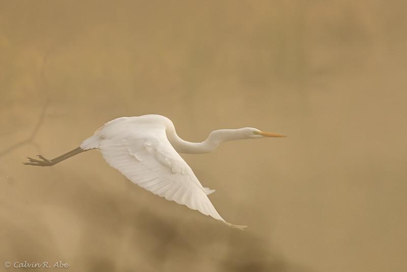 Egret in the American River-Foggy-4.jpg
