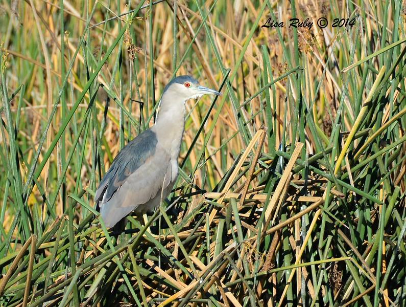 Black-crowned Night Heron - 12/29/2014 - Lindo Lakes