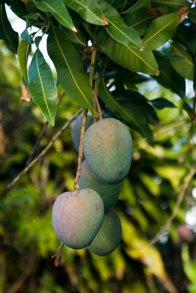 Mango - (not ripe yet) my Favorite Tropical Fruit!