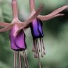 Fuchsia Sisters