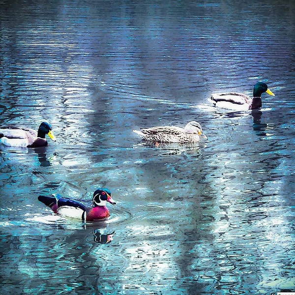 Amanda ducks - Get In a Row, Jerks.jpg