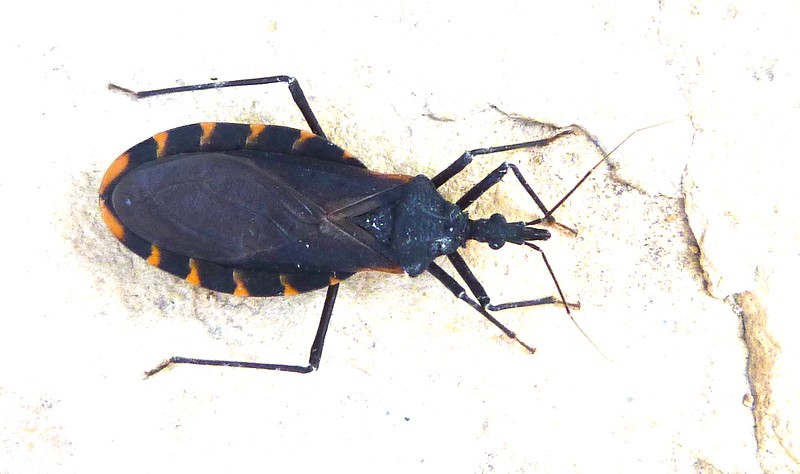 P104KissingBugTriatomaGerstaeckeri919 Aug. 18, 2011  8:43 a.m.  P1040919 Triatoma gerstaeckeri Kissing Bug at LBJ WC.